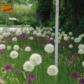 kd165 verver2 170x170 - Maschinelle Pflanzung von Blumenzwiebeln
